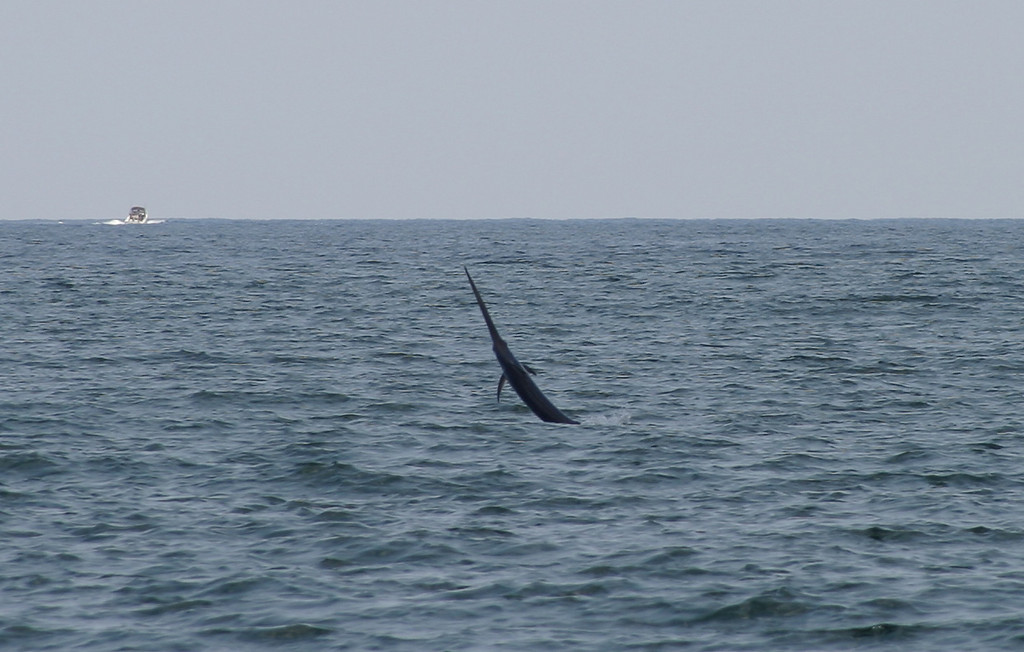 Large Swordfish jumping during the day in 170 feet of water off Haulover, Miami.