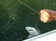 Bull shark caught on a live pilchard in a South Florida intracoastal canal.