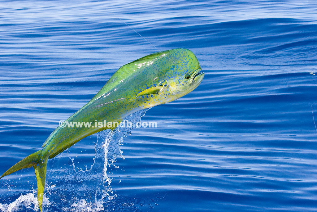 Slide show for album mahi mahi dolphin pictures for Dolphin fish pictures