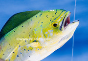 Highlight for Album: Mahi Mahi Dolphin Pictures