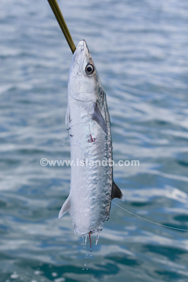 kingfish-shark2.jpg