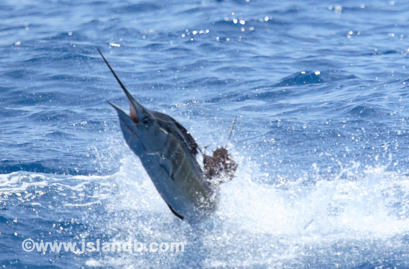 sailfish-0100.jpg