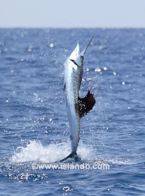 sailfish-0103.jpg