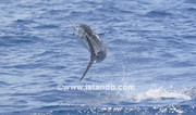 sailfish-0109.jpg