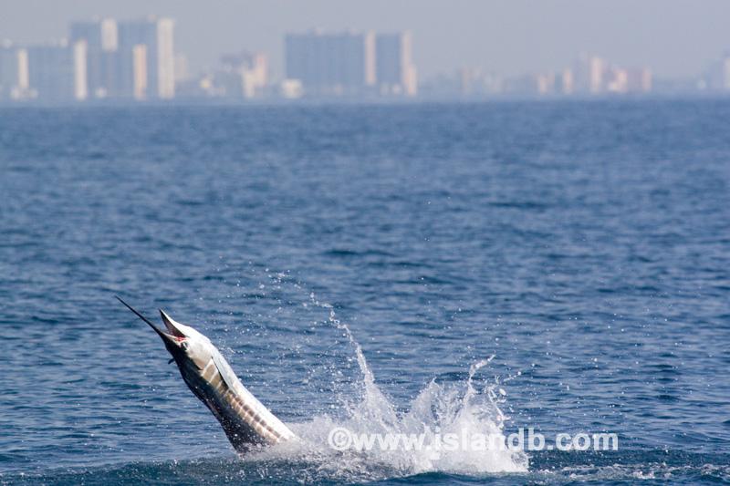 sailfish-0492.jpg