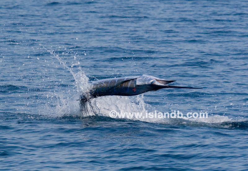 sailfish-0499.jpg
