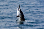 sailfish_0512.jpg