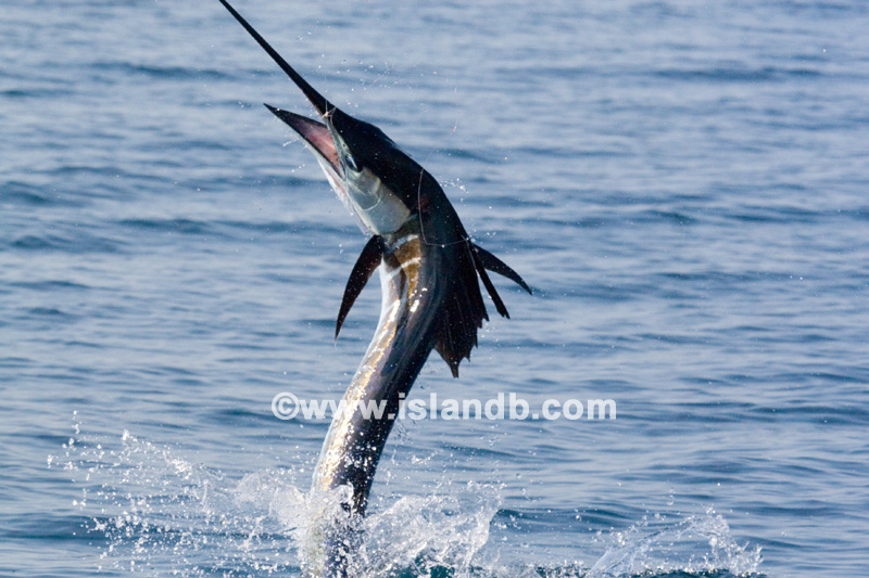 sailfish-0515.jpg