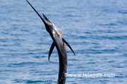 sailfish-0530.jpg