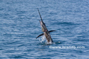 sailfish-0539.jpg