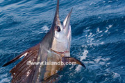 sailfish-0572.jpg