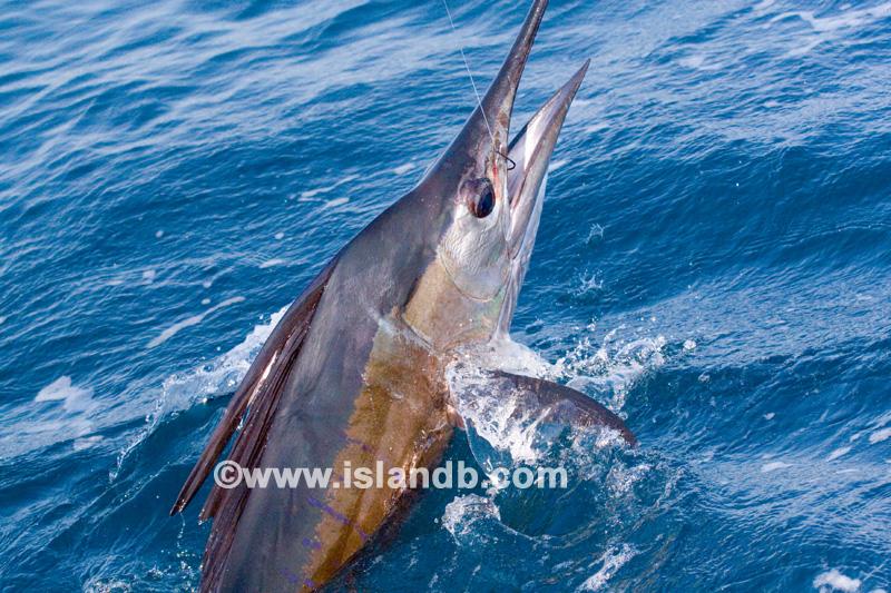 sailfish-0574.jpg