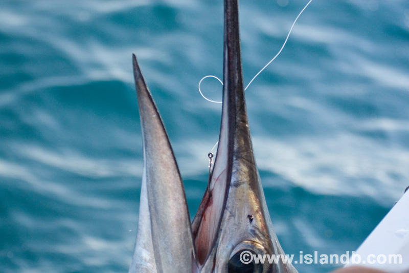 sailfish-0585.jpg