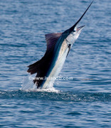 Highlight for Album: Sailfish Sailfishing Pictures