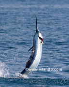 sailfish-0596.jpg