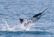 sailfish-0597.jpg