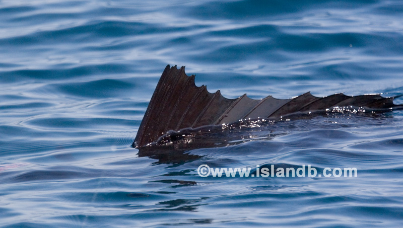 sailfish-0608.jpg