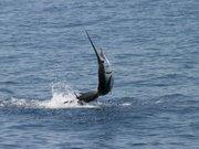sailfishjump1