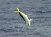 7-12-2003, Dolphin airborne...
