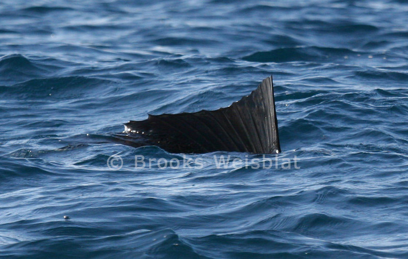 sailfish 10 30 2004 276