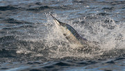 sailfish-10-30-2004-285.JPG