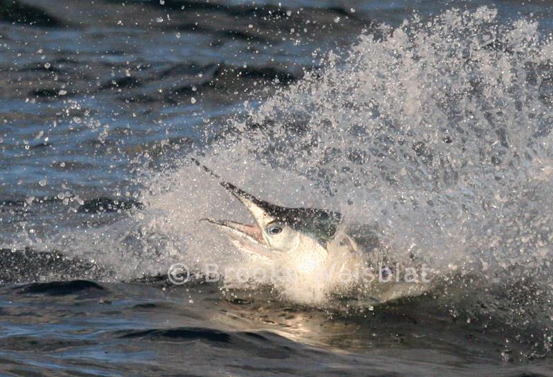 sailfish--278.JPG