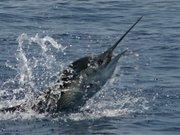 sailfishrunning2